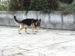 divagation-des-chiens